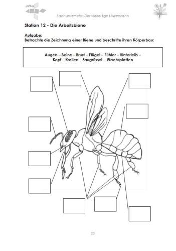 Arbeitsblatt Biene Klasse 1 : Der vielseitige löwenzahn download criavis verlag